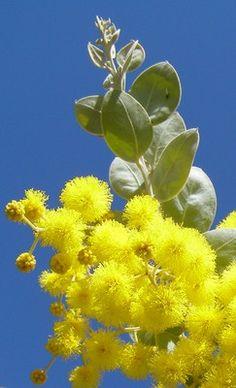 Queensland Silver Wattle (Acacia podalyriifolia) Australian Native Garden, Australian Native Flowers, Australian Plants, Australian Birds, Flora Flowers, Big Flowers, Yellow Flowers, Beautiful Flowers, Australian Wildflowers