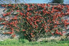 Japanese Quince (Chaenomeles japonica) I have 5... - BiodiverSeed