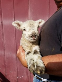 Hampshire Sheep For Sale Lambs For Sale In Georgia cfm | #1