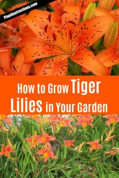how to grow tiger lilies