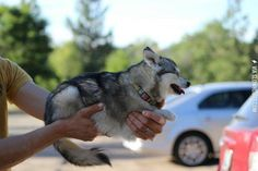 I can't believe this breed exists, the Alaskan Klee Kai Alaskan Klee Kai, Chihuahua, Animal Pictures, Husky, Believe, Pure Products, Pets, Animals, Dream Bedroom
