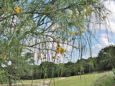 Retama tree - a South Texas native Texas Plants, Garden Insects, South Texas, Drought Tolerant Plants, Landscaping Plants, Native Plants, Nativity, The Nativity, Birth