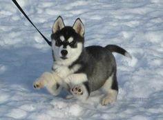 A little Husky