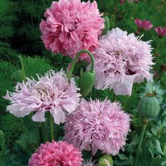 """Poppy """"Tallulah Belle Blush"""" Papaver Somniferum, Opium Poppy. Look like peonies and are a nice substitute for S. Calif. weather where peonies won't grow."""