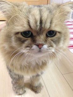 He's sensitive. He's fragile.   Japan's Version Of Grumpy Cat Is A Cat Who Looks Like He's Permanently Disappointed In You