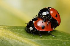 Mating 7-spot ladybirds by Lord V, via Flickr