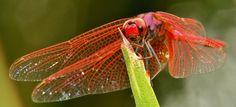 https://flic.kr/p/audfLs   Male Crimson Marsh Glider or Dropwing (Trithemis aurora)   Pu'er, Yunnan, China