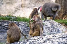 Hamadryas Baboons Continue To Eat