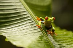 red-eyed tree frog~