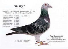 "NL.03-1030814 ""De Dijk"", Legendary breeder and racer from Paul Groeneveld, Honselerdijk"