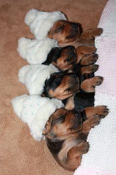 #Rotty babies. So cute!