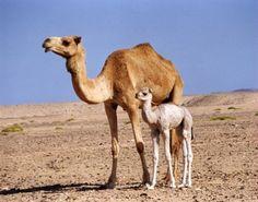 Arabia Saudí: Virus MERS pudiera ser una amenaza para los camellos | NOTICIAS AL TIEMPO