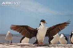 Imperial shag photo - Phalacrocorax atriceps - image-G82945