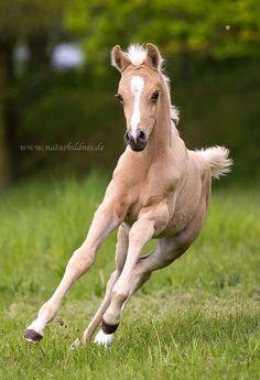 The foal 'Nadir Ibn Nafida' / naturbildnis. Cute Baby Horses, Funny Horses, Cute Baby Animals, Animals And Pets, Most Beautiful Horses, Pretty Horses, Horse Love, Animals Beautiful, Horse Photos