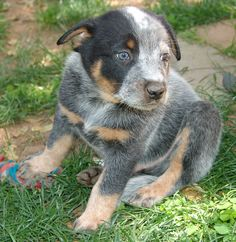 Brutus - Australian Cattle Dog - 5 weeks Blue Heeler - Queensland Heeler - Puppy