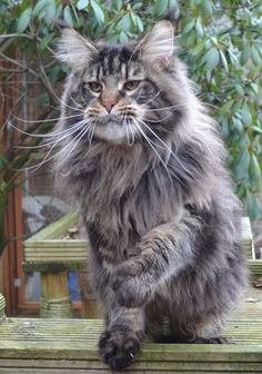 What a big handsome boy! Lionheartcoon Baloo. Italian Import. Brown Classic Tabby. Baloo photographed here @ 1 year old. A beautiful, large, confident boy from mainly American lineage. Baloo 10 months 02/02/15.