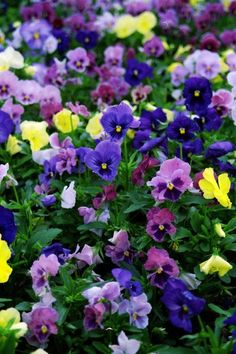 Purple  & Yellow Pansies