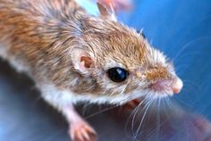 White footed mouse by Shirley Curtis
