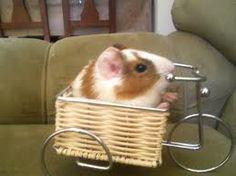 #roedores #cobaya #mascotas