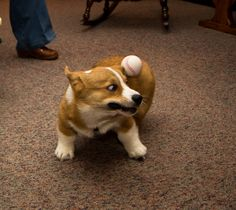 Silly corgi! That isn't how you catch a ball!