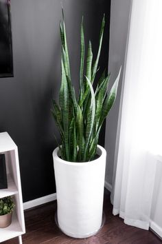 snake plant indoor Learn how to take care of a snake plant, including snake plant care indoors. Its simple to make a snake plant thrive with a few simple steps. Large Plants, Potted Plants, Foliage Plants, Hanging Plants, Planting Succulents, Planting Flowers, Deco Cactus, Snake Plant Care, Best Indoor Plants