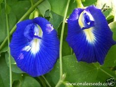 24+ Deep Blue Butterfly Pea Vine Seeds,Clitoria,LOVELY!