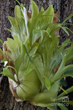 Staghorn Fern On A Tree Photograph