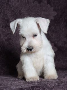 Bright white, and so beautiful, there is no missing Aliens. She is such a gorgeous Miniature Schnauzer and will bring a lot of joy to her forever home. Schnauzer Breed, Miniature Schnauzer Puppies, Schnauzer Puppy, Cute Puppies, Cute Dogs, Dogs And Puppies, White Miniature Schnauzer, Daisy Dog, Silly Dogs