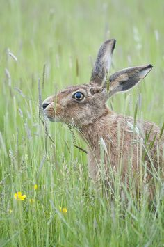Hare #photography #fauna #lapine