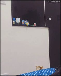 CAT GIF • Big Sister helps her little brother to retrieve his toy that is too high for him.They're so cute ♥