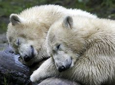 Twins bears Nobby and Nela take nap at Munich Zoo in Germany