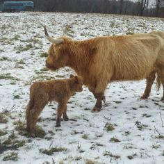 We have learned to plan calving in the spring right about when deer fawns are coming into the world. . Working on natures schedule ensures the healthiest animals. . This Scottish Highland Calf was born on a November morning in 2011 . . . . . #nyfarms #farmtotable #westwindacres #artisanmeat #grassfedbeef #pastureraisedpork #csa #meatCSA #meatsubscription #farmkids #farmkids #healthymeats #healthy #healthyfood #saratogafoodadventures #foodgasm #instagood #redwattle #GMOfree #farm…
