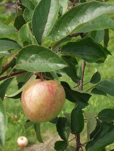 Malus domestica Sokerimiron, sommarsort. Växt: upprätta kvistar, snabbväxande. Skörd: sen, regelbunden, liten. Frukt: liten, gul, rosenröda strimmor, söt, mjuk och rätt torr. Hållbarhetstid: någon dag. Bild: Taimistoviljelijät.