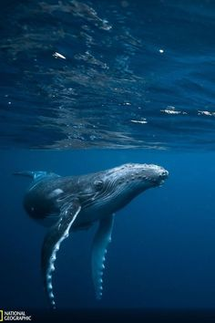 Beautiful Creatures, Animals Beautiful, Cute Animals, Amazing Beasts, Animals Information, Save The Whales, Whale Art, Wale, Ocean Creatures