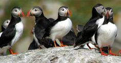 Murder. Mayhem. Do we need a dose of the cutes, or what? Yes, we do. You can't beat a gloriously good nature program when stressed or simply tired of the world and all its woes and evils. Meet the Puffins. Watch the wonderful Puffin Patrol on CBC tonight..Read review here.. http://www.theglobeandmail.com/arts/television/john-doyle-meet-the-puffins-they-can-cure-everything-that-ails-us/article27322287/