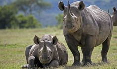 Around 80 African rhinos are being flown to Australia in a mission to protect the threatened species from poachers who are killing the animals for their highly valued horns. Dallas Safari Club, Dallas Zoo, African Rhino, African Elephant, African Animals, Fly To Australia, Rhino Poaching, Save The Rhino, National Geographic Kids
