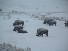 Buffalo Herd at the side of the I-90 in the snow...(they're statues!)