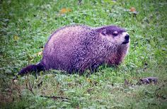 """The groundhog (Marmota monax), also known as a woodchuck, or whistlepig, is a rodent of the family Sciuridae, belonging to the group of large ground squirrels known as marmots. The groundhog is also referred to as a chuck, wood-shock, groundpig, whistler, thickwood badger, Canada marmot, monax, moonack, weenusk, and red monk. The name """"thickwood badger"""" was given in the Northwest to distinguish the animal from the prairie badger."""