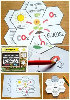 This fun petal book will help your students understand the process of photosynthesis. For grades 4-6. This resource is adapted to address different learning styles.
