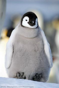 Fat things make me smile <3 Especially a fat penguin :)