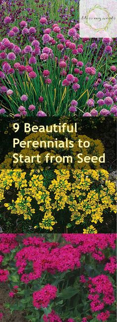 9 Beautiful Perennials to Start from Seed - Bless My Weeds