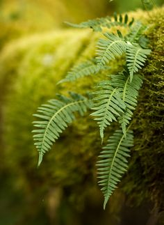 Wild Sword Ferns through a forest of moss Nature Verte, Foto Macro, Ferns Garden, Walk In The Woods, Green Nature, Shades Of Green, Mother Nature, Shrubs, Planting Flowers