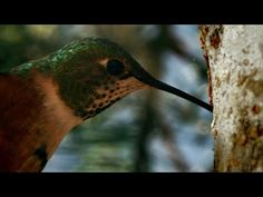 Sneaky Hummingbird - Alaska: Earth'S Frozen Kingdom : Video Clips From The Coolest One