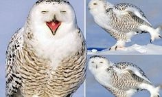 Dancing on ice: Snowy owl left with a big smile on his face as practises his moves