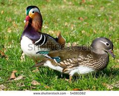 Google Image Result for http://image.shutterstock.com/display_pic_with_logo/428491/428491,1275078600,3/stock-photo-colorful-mandarin-duck-couple-54081082.jpg