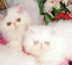 Persian kittens for sale in st louis mo