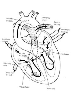 Heart Diagram Labeled Medical Anatomy Heart Education