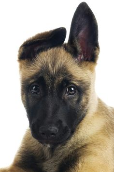There are two kinds of people in this world: Malinois people and everyone else. Belgian Shepherd, German Shepherd Puppies, German Shepherds, Belgian Malinois Puppies, Mo S, Working Dogs, Beautiful Dogs, Mans Best Friend, Best Dogs