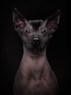 """turecepcja: """" Photography by Klaus Dyba """" – Archive Mexican Hairless Dog, Baby Animals, Cute Animals, Amor Animal, Animal Memes, Pet Portraits, German Shepherd Dogs, Pet Birds, Dogs And Puppies"""