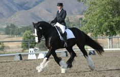 Shire Horse, Riding Habit, Horse Facts, Clydesdale, Draft Horses, Barrel Racing, Show Jumping, Horse Breeds, Horse Love